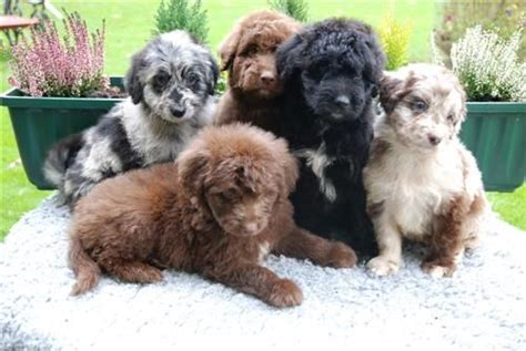 shepherd doodle puppies for sale aussiedoodles richel albright quot dogs are not our whole