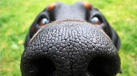 nose puppy can you identify the breed by their nose quiz rover