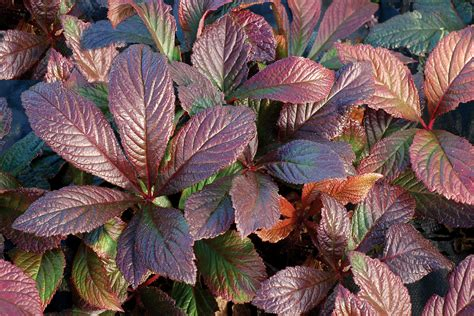 bronze foliage plants rodgersia bronze peacock wins silver at hta national