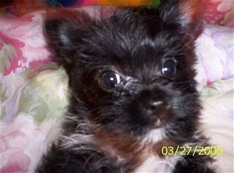 15 pound yorkie chorkie breed pictures 1