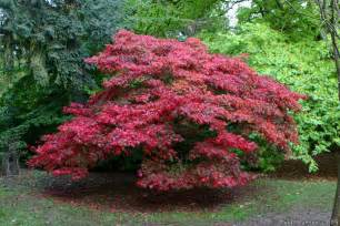 red japanese maple varieties