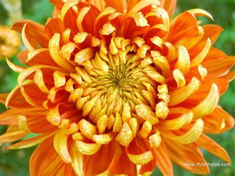 image gallery november flower orange chrysanthemum photo