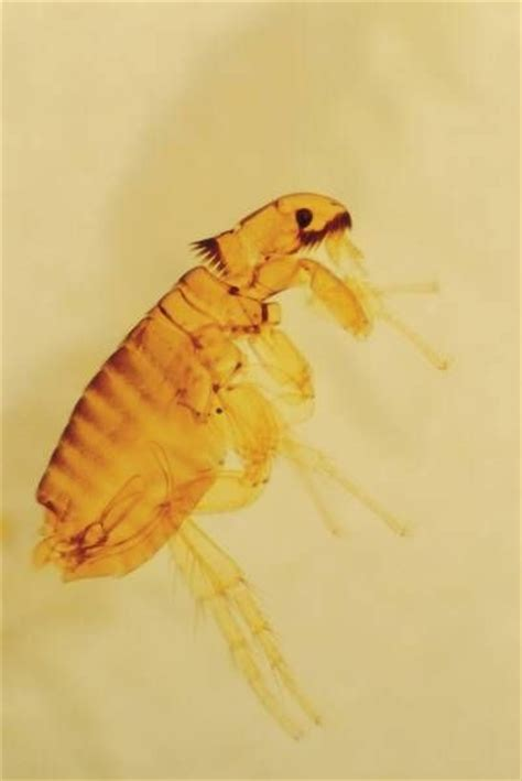 can fleas kill a how to kill fleas with pine sol