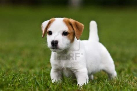 terrier puppy terrier puppies for sale pupcity