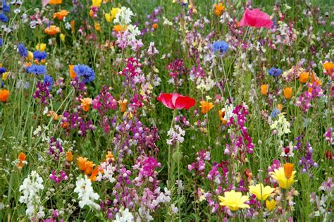 wildflower backyard free wild flower seeds friends of rowley fields