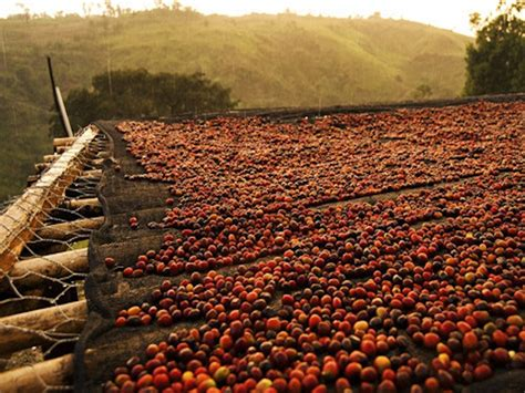 Green Coffee   Ethiopian Washed Yirgacheffe Gr. 2 Kochere ? Roast Coffee Company