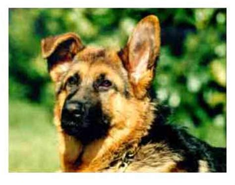 when do german shepherd puppies ears stand up when do the german shepherd ears stand up merry photo