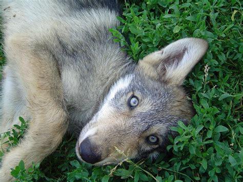 puppy wolf wolf puppy 1 by dabomb4097 on deviantart