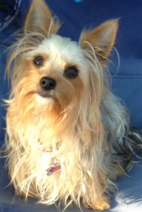 oregon yorkie breeders oregon akc yorkie breeder terriers portland or