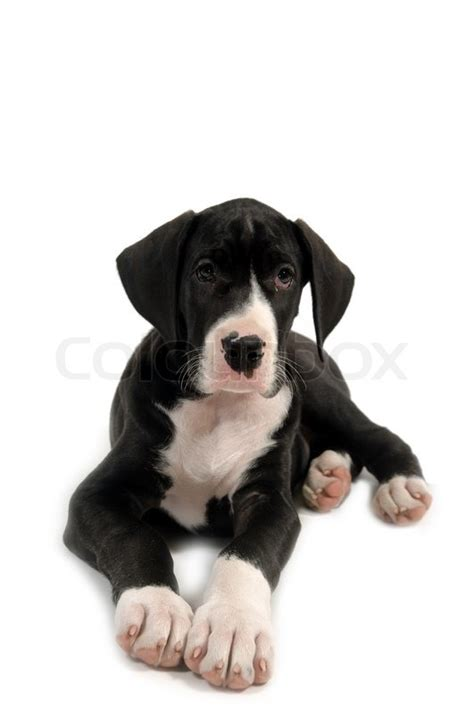 black and white great dane puppies resting great dane puppy on white background stock photo colourbox