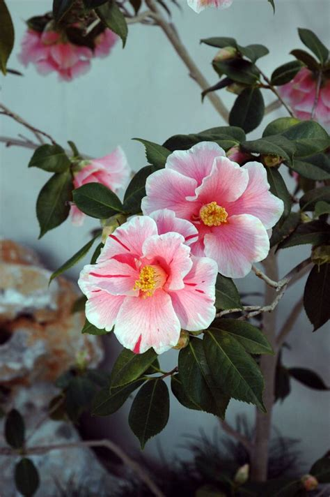 Harlequin Gardens by 374 Best Images About Camellias On Gardens