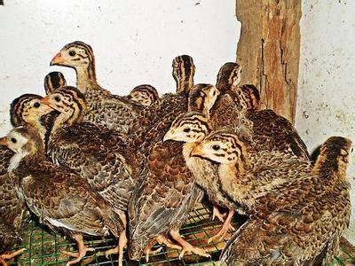 ayam mutiara ayam api api guinea fowl birds sold 7 years 2 months ayam mutiara