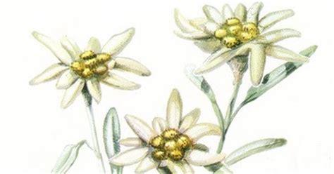edelweiss fiore alpino ilclanmariapia la stella alpina