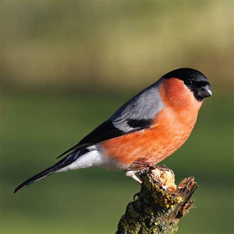 trogtrogblog bird of the week bullfinch
