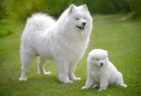 Do Spitz Shed by Black Samoyed Www Pixshark Images Galleries With A Bite