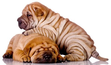 sharpay puppy a complete guide to the shar pei breed