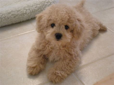 poodle cross lifespan bichon poo aka bichon frise poodle mix soft and fluffy
