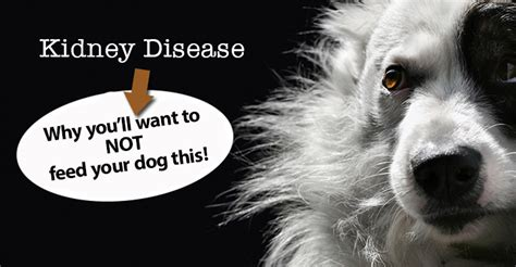 signs of kidney disease in dogs kidney failure what to feed your