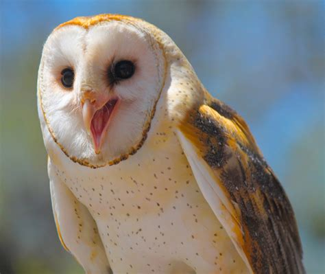 Happy Owl Top barn owl wallpapers images photos pictures backgrounds