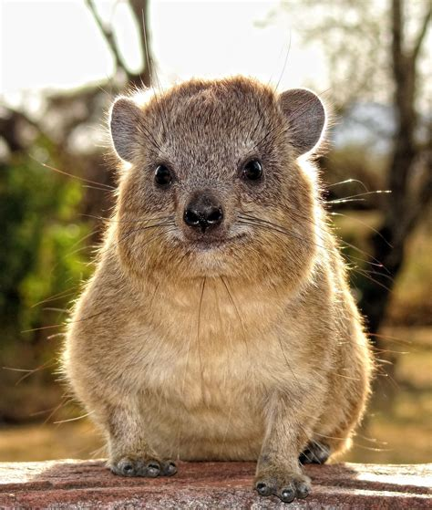 this closest this is a rock hyrax it s closest living relatives are