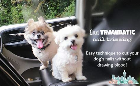 how do dogs bleed how to clip a s nail without bleeding end traumatic nail trimming how to