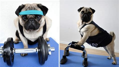 pug athletic these athletic pugs are breaking the pugtato stereotype rover