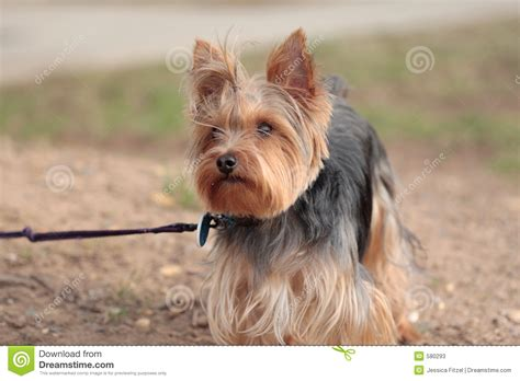 pictures of boy yorkies yorkie stock photos image 580293