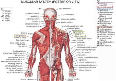 muscles of diagram posterior diagram human anatomy system
