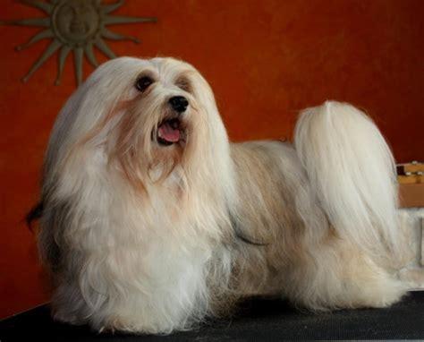 havanese seizures small hypoallergenic breeds 6 top breeds that enjoy children waycooldogs