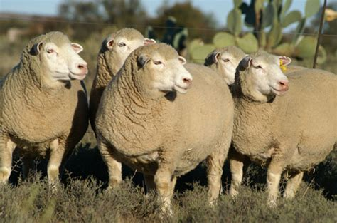 Dormer Sheep board submits proposals for sheep marketing new era newspaper namibia