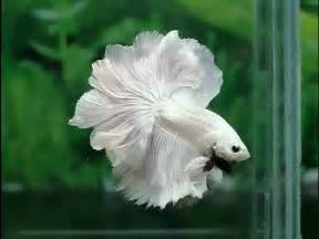 Most beautiful betta fish in the world never seen before 1 youtube