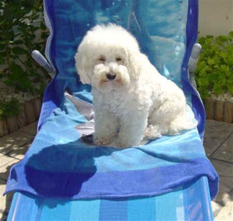 cyprus poodle lifespan white poodle