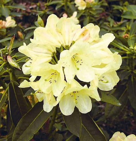 baumarkt westerstede gro 223 blumige rhododendron westerstede 50 60cm alpenrose