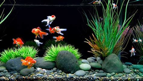 akuarium ikan mas koki design kiat jitu memelihara ikan mas koki di akuarium jitunews com