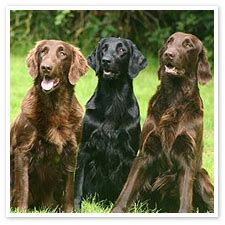 flat coated retriever strong and elegant working retriever dogs planetanimalzone flat coated retriever strong and elegant working retriever dogs planetanimalzone