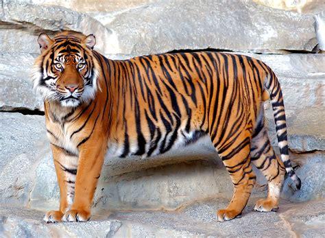 mas de 1000 imagenes sobre pandas en pinterest flor chicas y osos image gallery imagenes de tigres