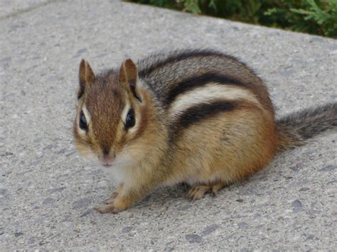 A Chipmunk - lessons from a chipmunk wendy mccaig