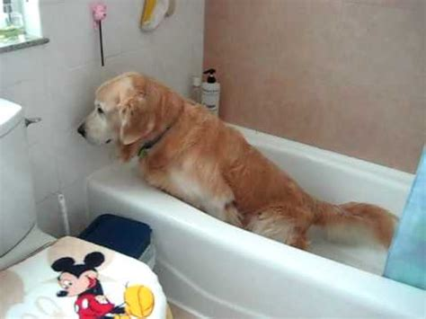 what is dogs in a bathtub my dog ask for go to toilet on bathtub youtube