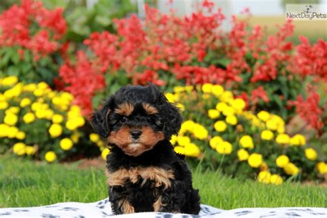cavapoo puppies near me cavapoo puppy for sale near lancaster pennsylvania 46efd527 7ef1