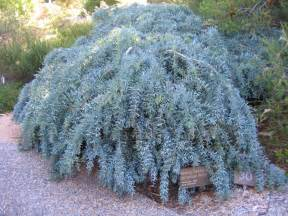 Silver Foliage Plants Australia - climbers and ground covers archives mallee native plants mallee native plants