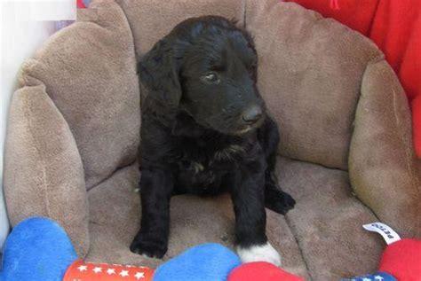 aussiedoodle puppies for sale ontario aussiedoodle breeder in varsontario breeds picture