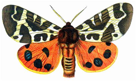 mariposas de espaa y turismo abaurrea la mariposa gitana