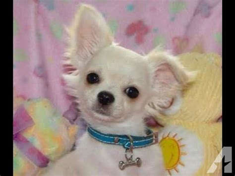 teacup puppies for sale in louisiana teacup chihuahua puppies for sale for sale in covington louisiana classified