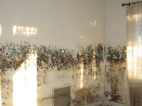 black mold in house pictures of black mold indoor mold resources