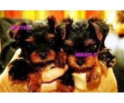 teacup yorkie breeders in md tiny yorkie puppies for sale text animals baltimore maryland announcement 25085