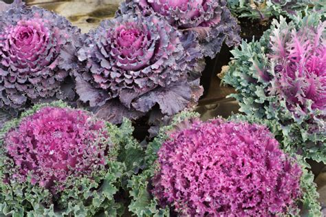 ornamental cabbage annual or perennial color it fall 171 plant shed
