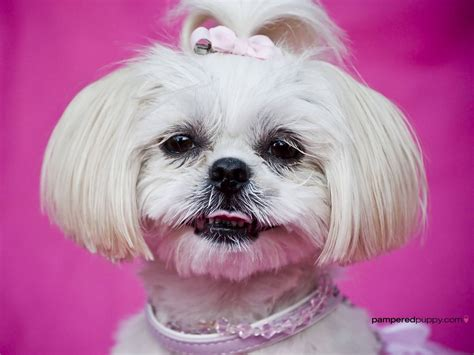 how to cut shih tzu hair at home with scissors 50 most beautiful shih tzu dogs for home golfian