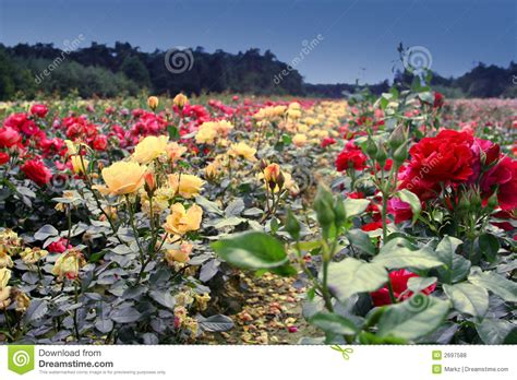 Field Of Roses Royalty Free Stock Photos   Image: 2697588