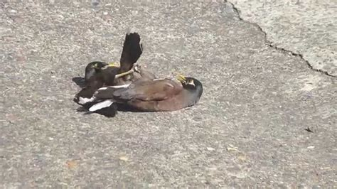 how two birds are mating in my drive way youtube