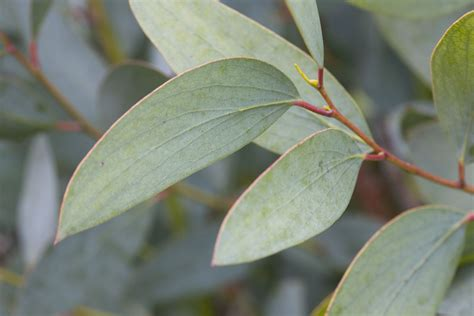 Eucalyptus Plant Uses And Growing Techniques